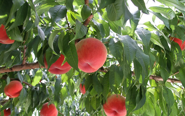 Персик в вашем саду: посадка, уход и обрезка