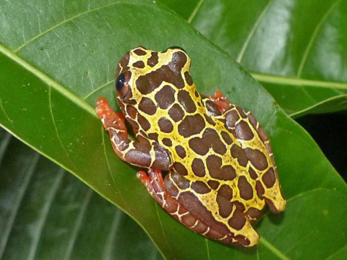 В бассейне Амазонки открыли два новых вида лягушек-клоунов