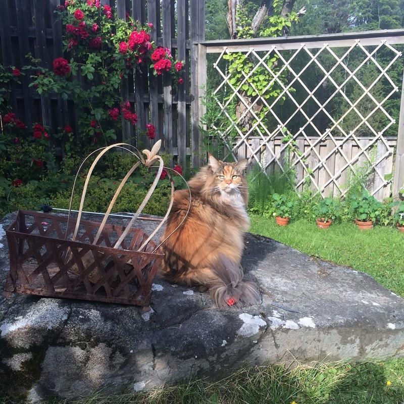 Познакомьтесь ссамой пушистой кошкой вмире!