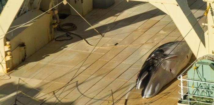 90% китов, которых ежегодно убивают у берегов Норвегии, оказываются беременными самками