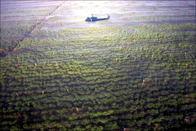 Спрятанная плантация конопли