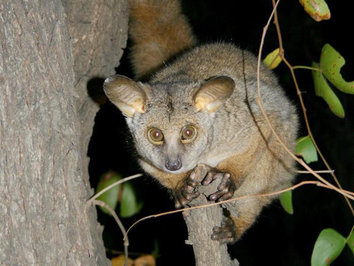 Гиганты среди карликов: новый вид карликовых галаго был обнаружен в Анголе