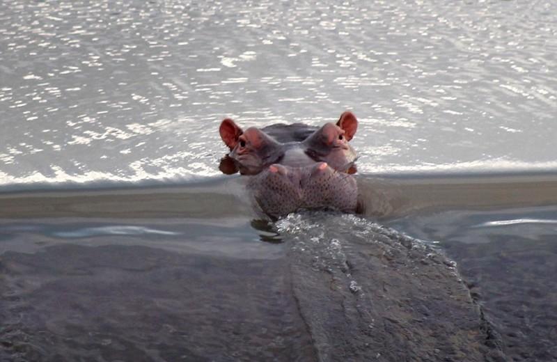 Бегемот отдыхает возле водопада