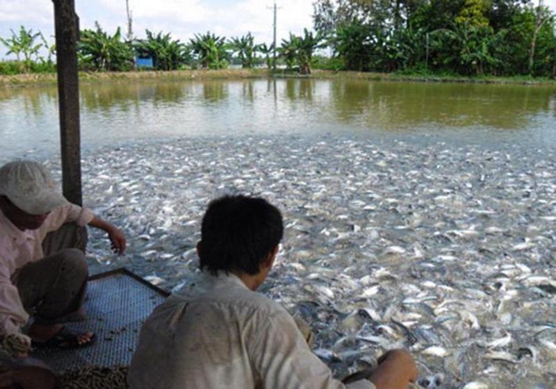 Увидев, как выращивают эту рыбу, я перестал ее покупать! А ведь была моим любимым лакомством...