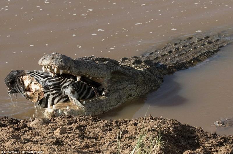 Вмире животных: оторванная голова зебры вкрокодильей пасти