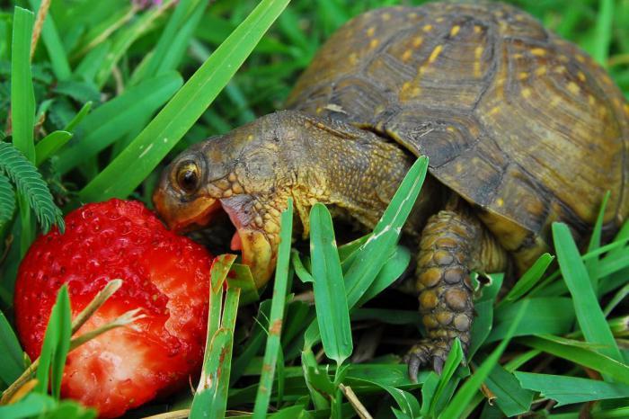 9 фактов, которые нужно изучить перед покупкой черепахи
