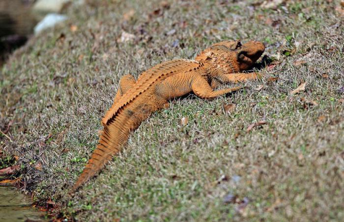В Америке был замечен необычный оранжевый аллигатор