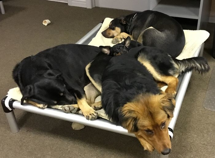 Трое-четверо собак вдоме - каково это?