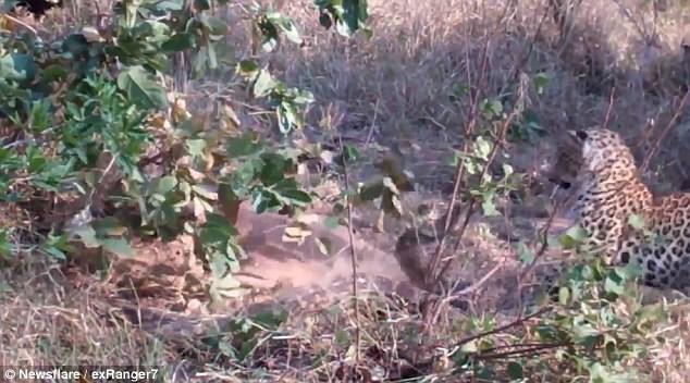 Захватывающее зрелище: смертельный поединок между леопардом игигантским питоном