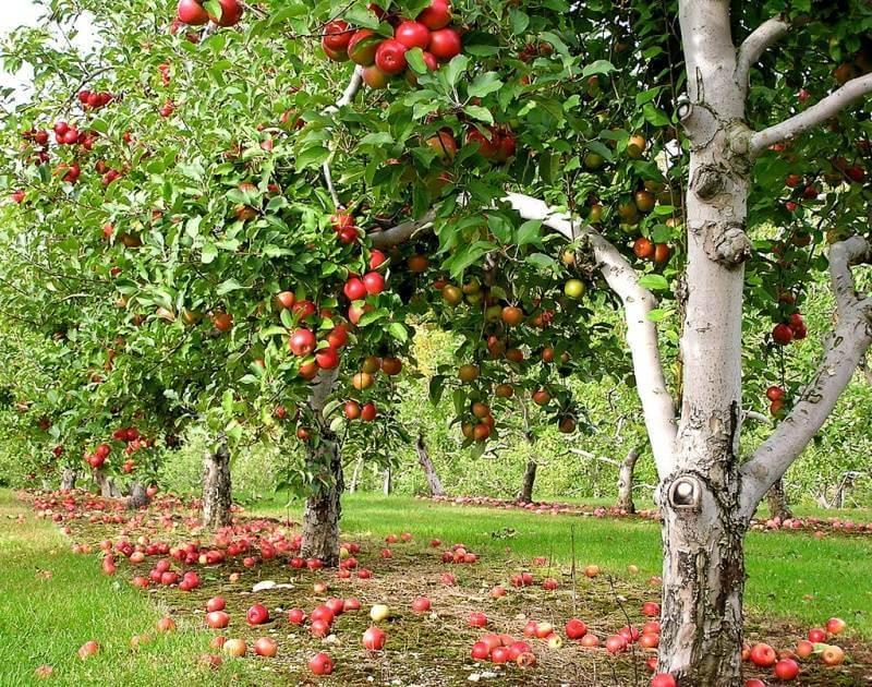 Как вырастить яблоню из семечка