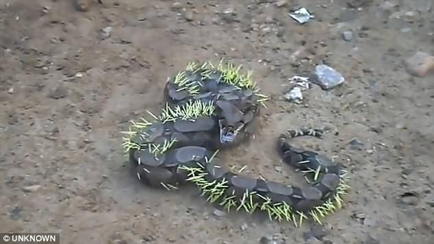 Удав проглотил дикобраза: зрелище недляслабонервных