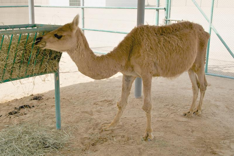 12удивительных гибридов животных, которые действительно существуют