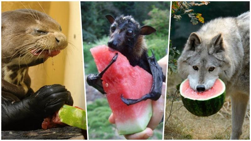 20прелестных животных, которые просто обожают арбузы