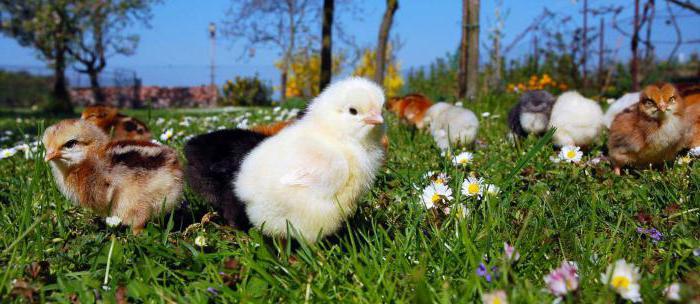 Курица доминант: описание породы, разведение, содержание, отзывы