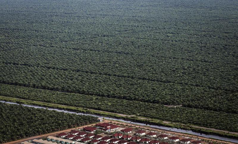 Какделают пальмовое масло