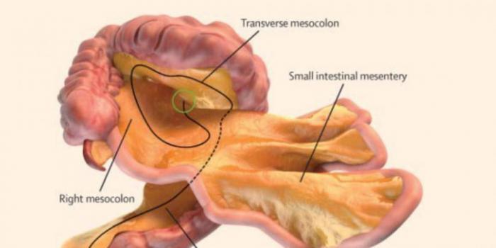 Исследователи нашли новый орган в человеческом теле