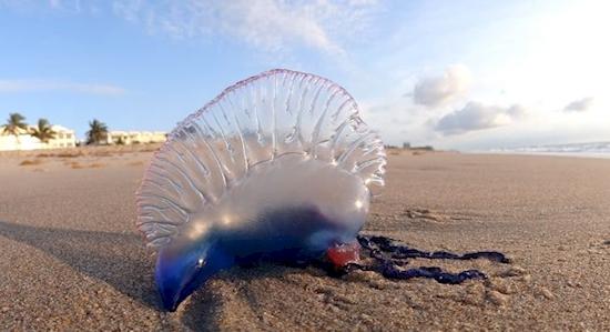 Вам тоже эта медуза кажется сказочно красивой? Держитесь подальше, она может парализовать!