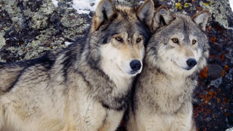 Вот почему волки в стае идут именно в таком порядке. Нам есть чему у них поучиться!
