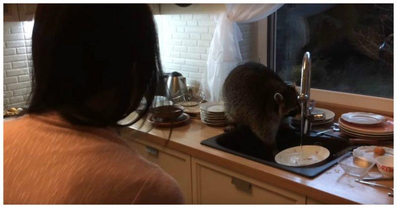 Енот залез вчастный домвКазахстане иперемыл гору посуды