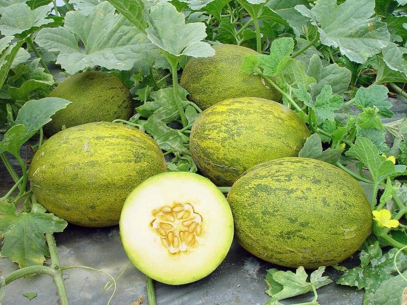 Бахча на вашей грядке: Как выращивать арбузы и дыни