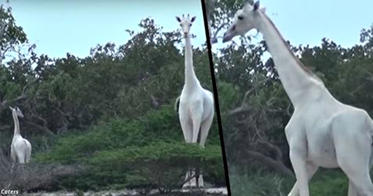 Редчайший белый жираф в первый раз попал на видео! Вот оно