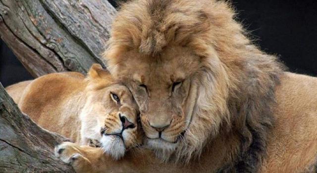 12 настоящих причин, почему без Львов жизнь очень скучна и тяжела