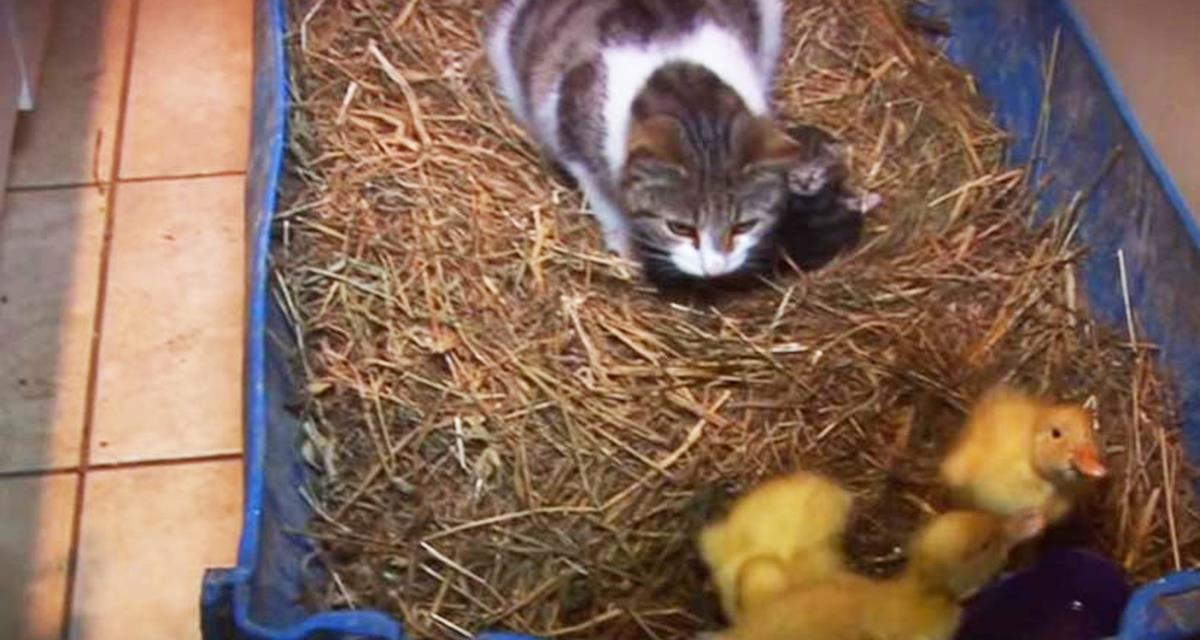 Хозяева оставили трех птенчиков наедине с кошкой. Начало видео пугает, но досмотрите до конца!