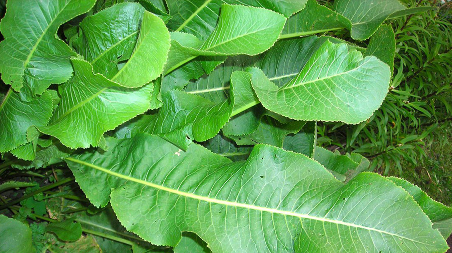 Листья хрена – единственные из растений, способные вытягивать соль через поры кожи