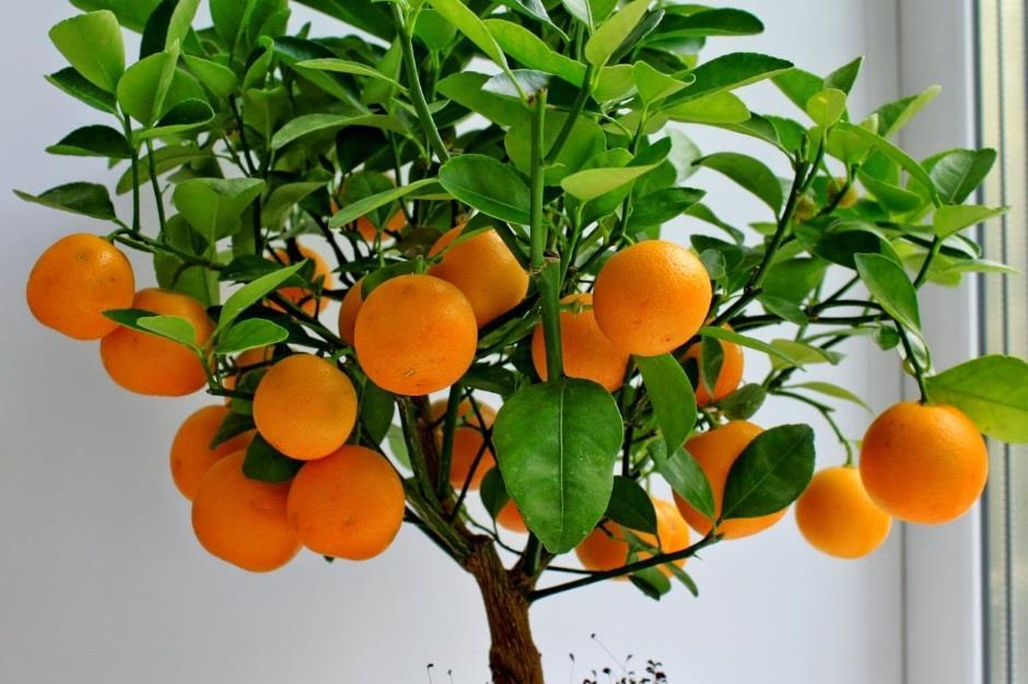 Как вырастить цитрусовое дерево из косточки!
