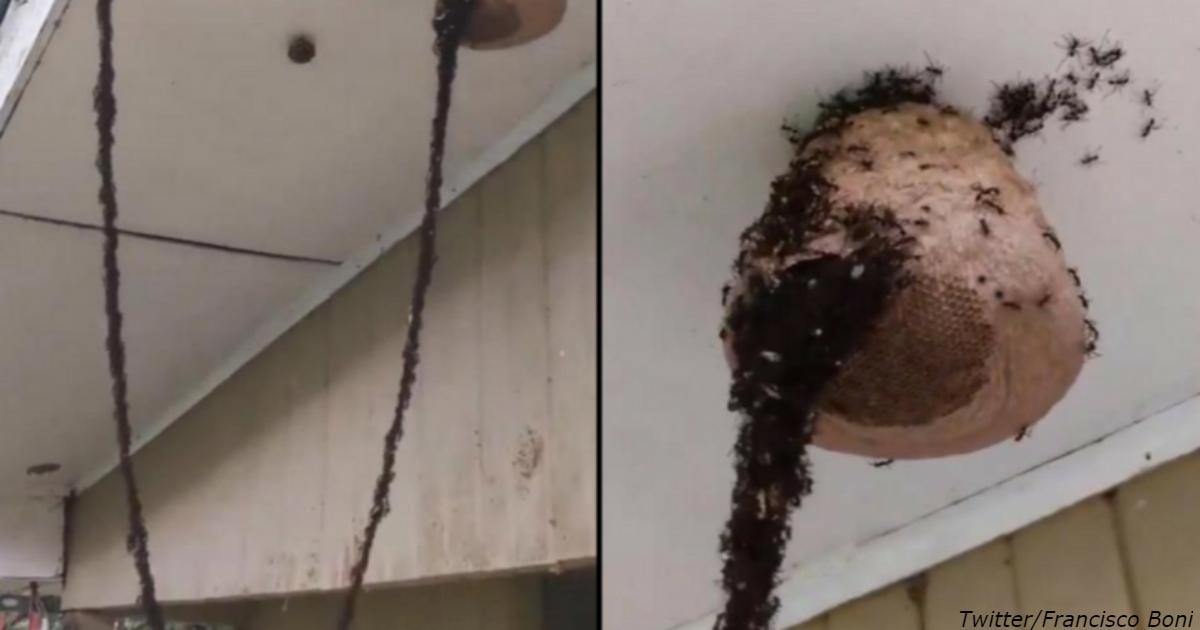 Как миллионы муравьев строят «мост», чтобы разрушить осиное гнездо