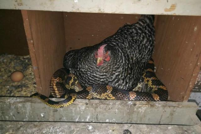 Фермер увидел в курятнике невероятную картину: курица пригрела под своим крылом змею.
