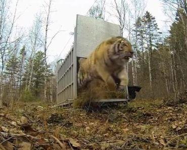 Редкого амурского тигра выпустили на волю. Только взгляните на эту мощь и красоту