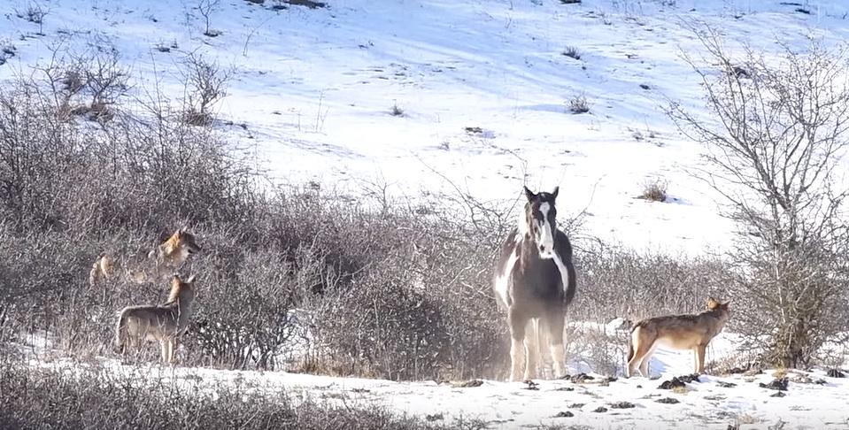 5 голодных волков окружили лошадь…
