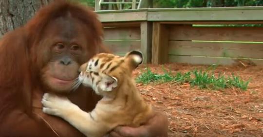 Огромный орангутанг думает, что он папа маленьких тигрят!
