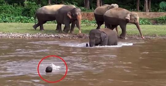 Мужчина попал в бурное течение реки и умолял о помощи. Вот, что сделал этот слон!