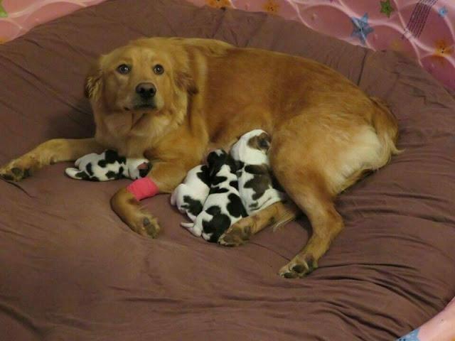 Спасённая беременная собака рожает «маленьких коровок»