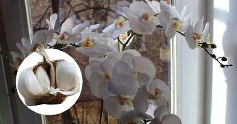 Чеснок — спасение для орхидей! Через месяц мой Фаленопсис выпустил несколько…