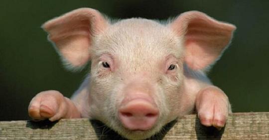 Увернувшись от меня, он рванул со двора, громко повизгивая… Я к теще — так мол и так, убежал наш свин…