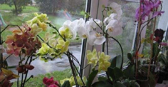 Секреты рассадки орхидей: как превратить 1 растение в 100