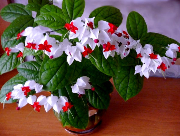 Красивейший комнатный цветок, который цветет почти круглый год