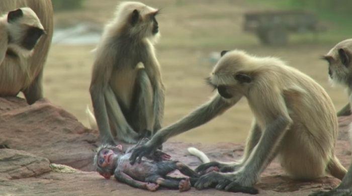 Они подбросили обезьянам куклу. От того, что произошло дальше, к горлу подступает комок…