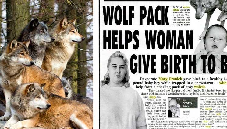 Дикие волки спасли беременную женщину во время бури и стали ее акушерами