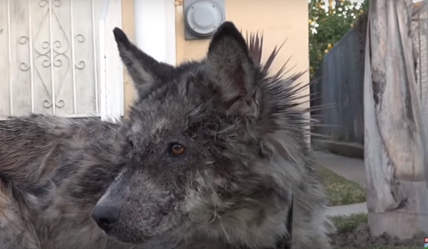 Спасая это «чудовище», волонтеры даже не знали это волк, койот или собака. Но они не бросили животное в беде