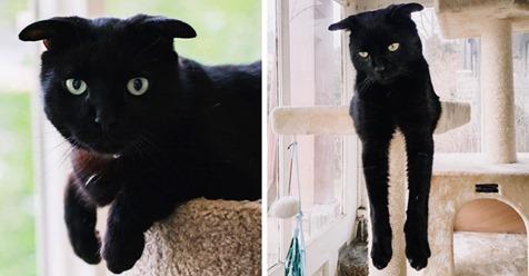 У этого кота такие странные ушки, что другие кошки боятся с ним играть. Но вы растаете от умиления
