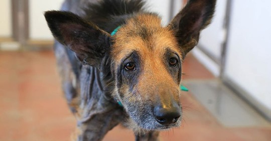Бездомный пёс попал к волонтёрам в ужасном состоянии, но они быстро показали, какой красавчик в нём прятался