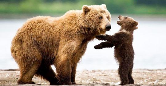 Мамина забота: 15 трогательных фотографий медведиц и их малышей