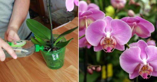 Отличное домашнее удобрение для орхидей. Всего несколько поливов и ваши орхидеи не узнать!