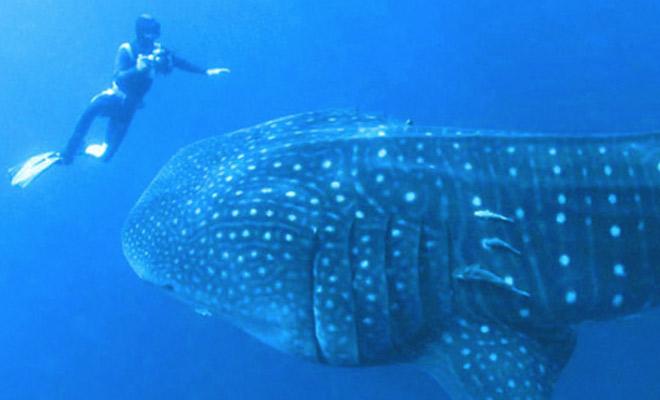 Пятнадцатиметровая акула приплыла к дайверу и попросила помочь
