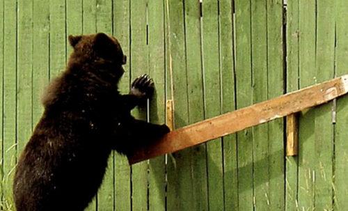 Лесник услышал рычание за своим окном: у ворот стоял медведь и просил помощи