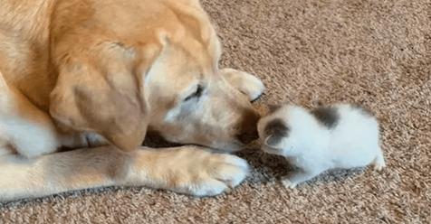 Старенький лабрадор заменил маму новорожденному котенку. Что может быть милее этого?